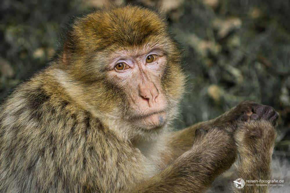 Berberaffe im Affenwald
