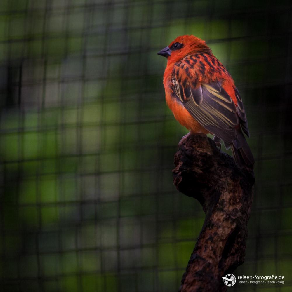 Kleiner roter Vogel Madagskaweber in Osnabrück