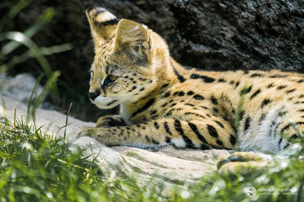 Kleiner Serval Nachwuchs in Osnabrück