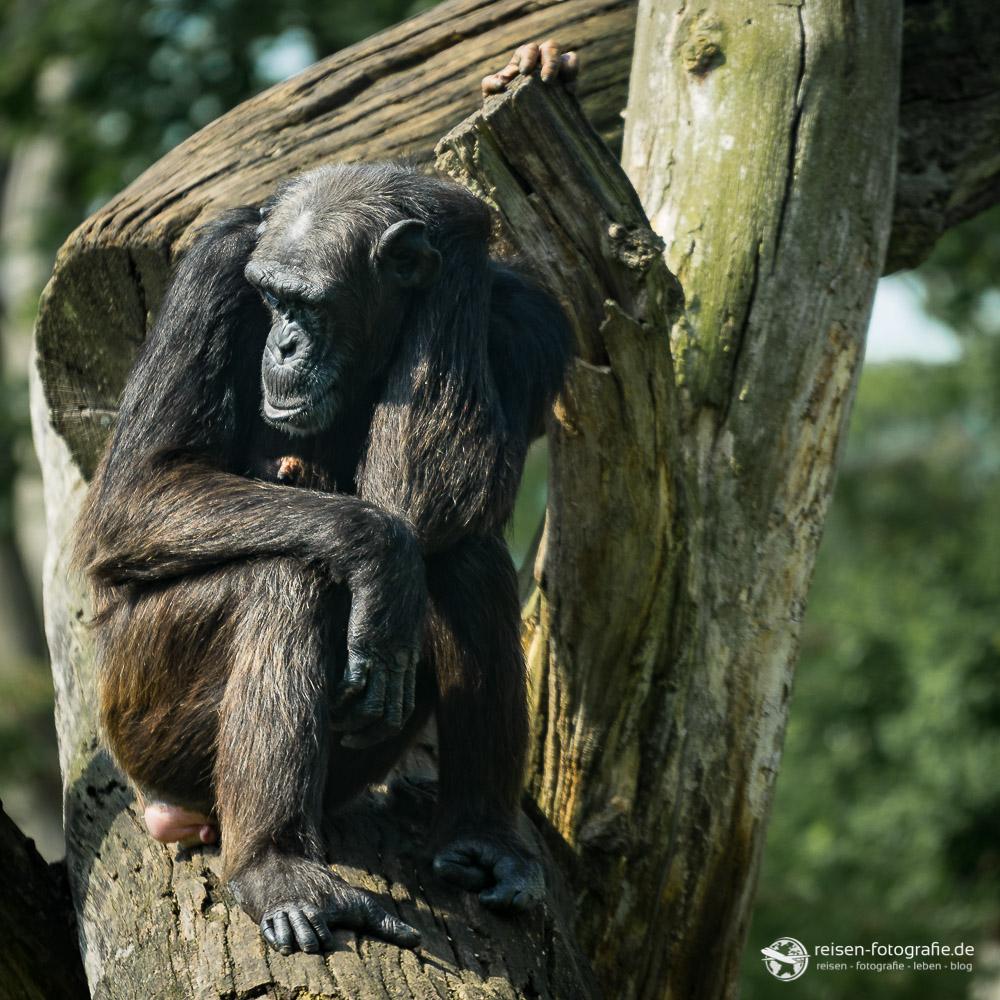 Schimpanse im Zoo Osnabrück