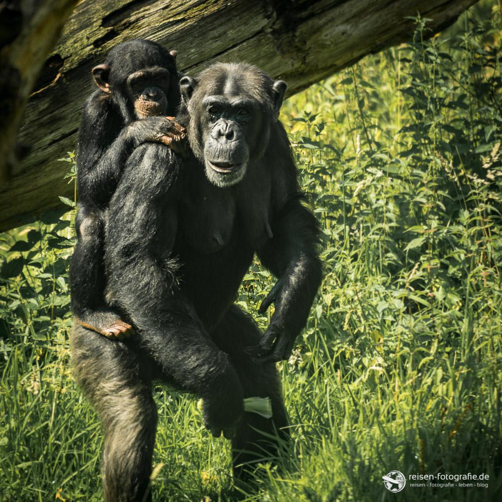 Schimpanse mit Nachwuchs im Zoo Osnabrück