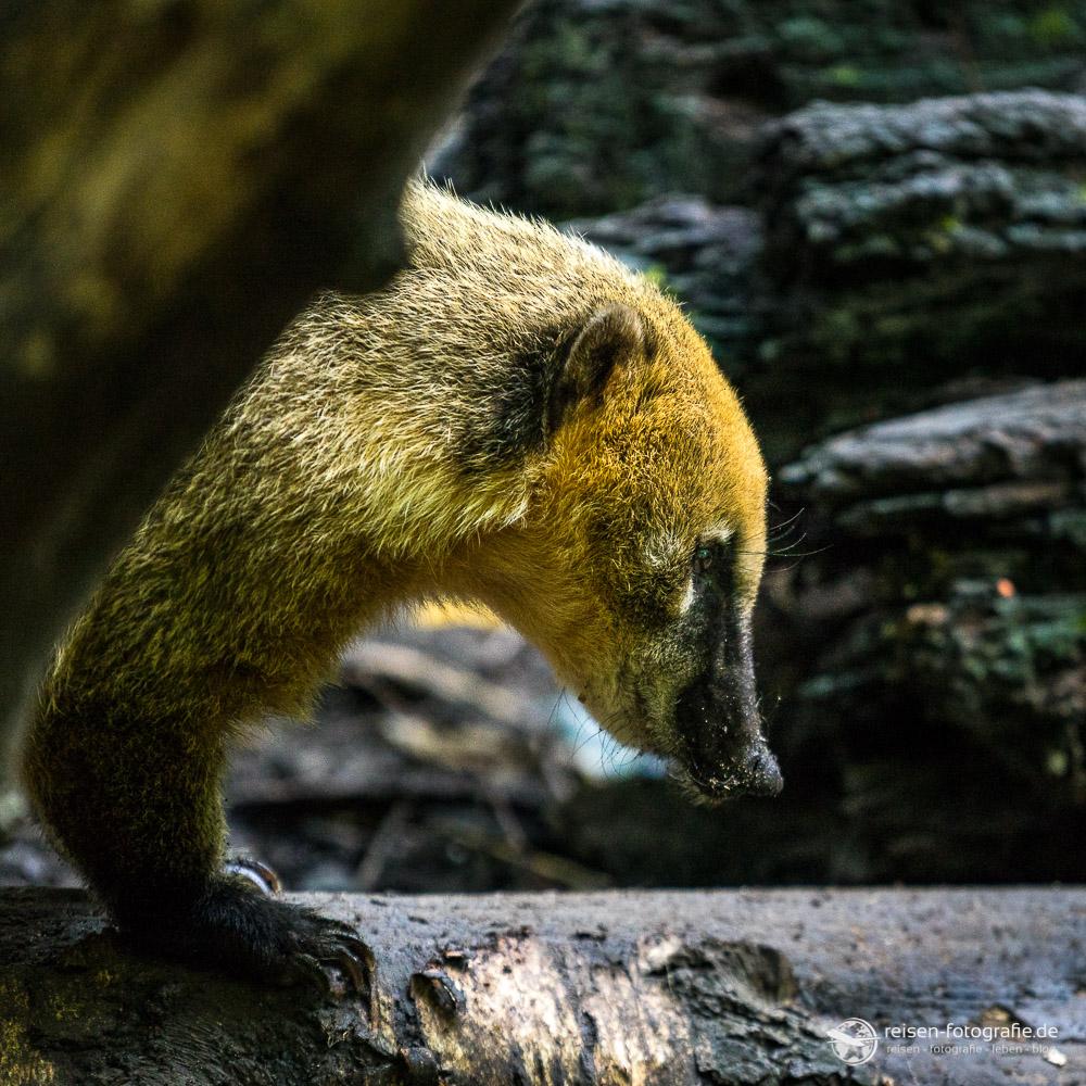 Nasenbär im Osnabrücker Zoo