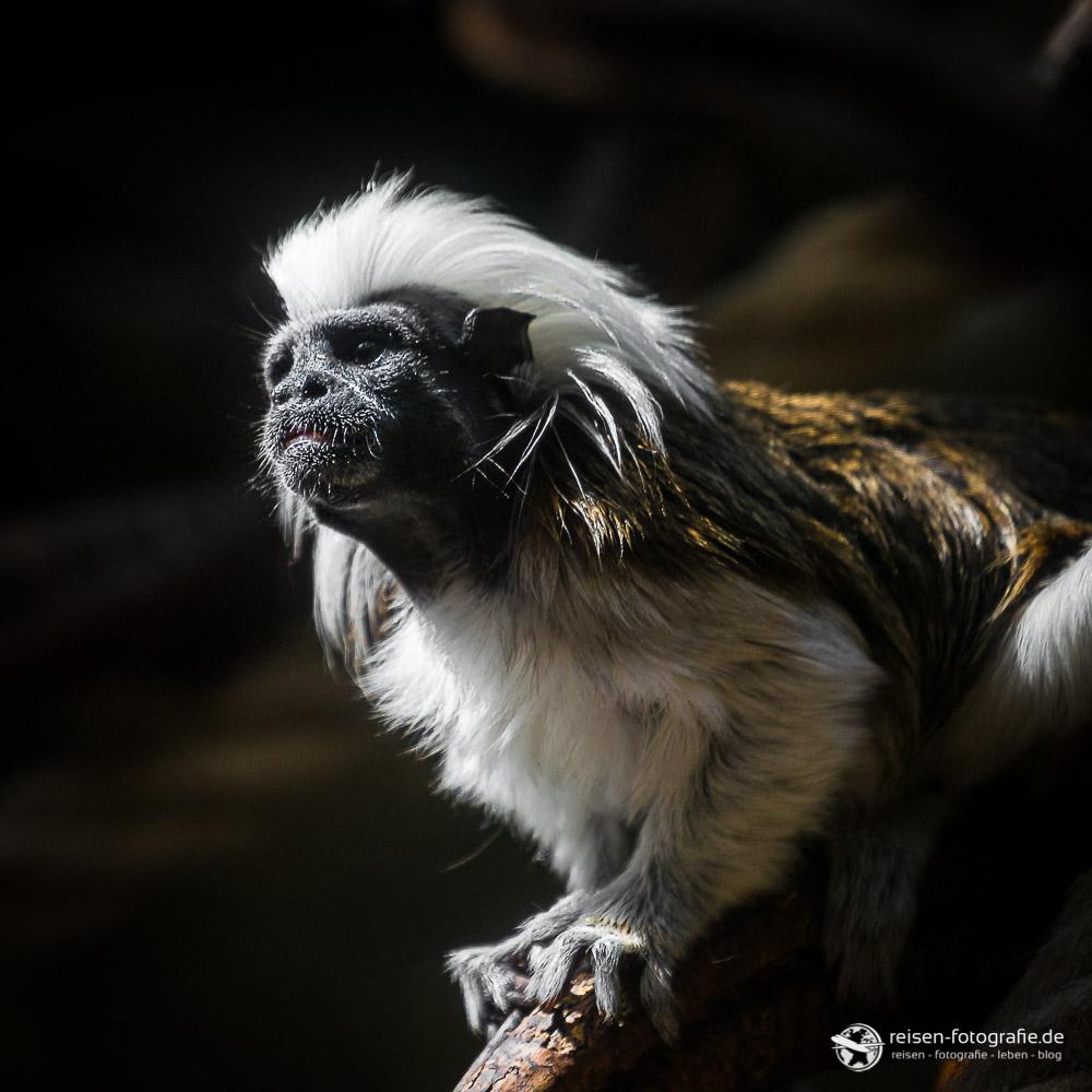 Punker! Lisztäffchen im Zoo Osnabrück
