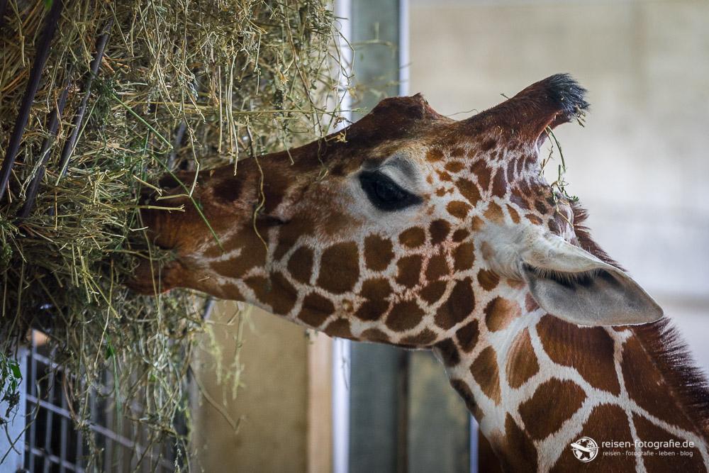 Mahlzeit bei den Giraffen