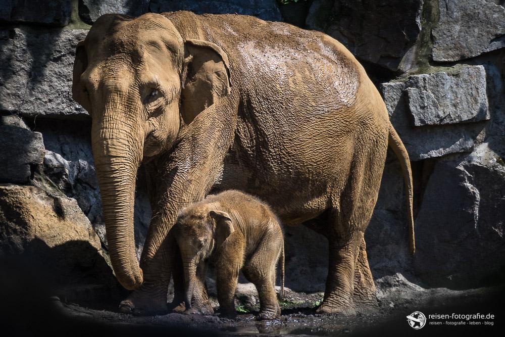 Elefantennachwuch Minh-Tan mit Mutter Douanita