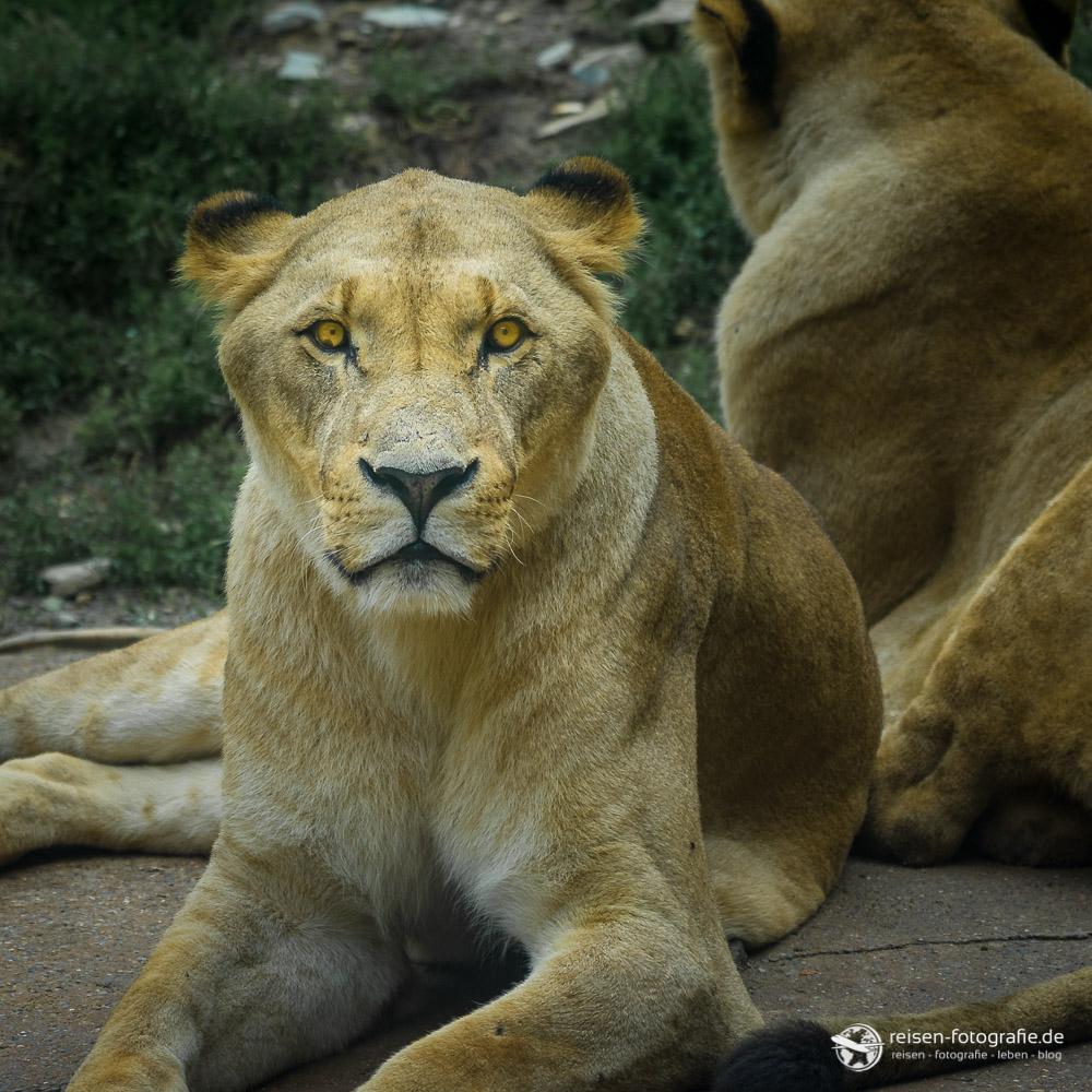 Löwendame im Portrait