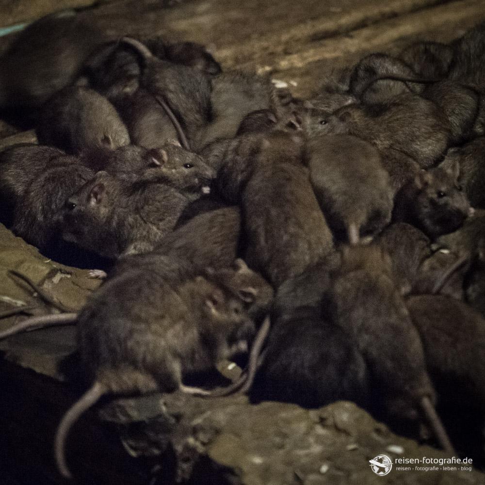 Ratten im unterirdischen Zoo Osnabrück