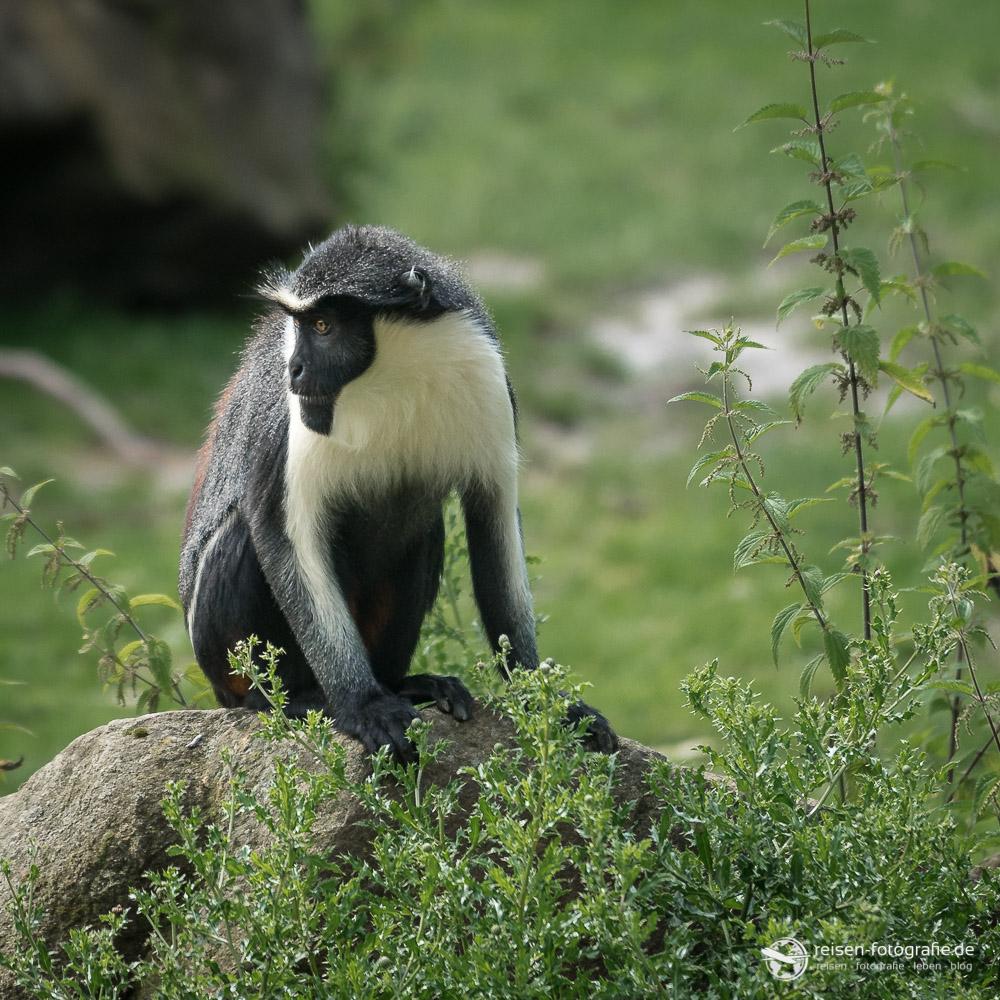 Diana Meerkatze im Osnabrücker Zoo