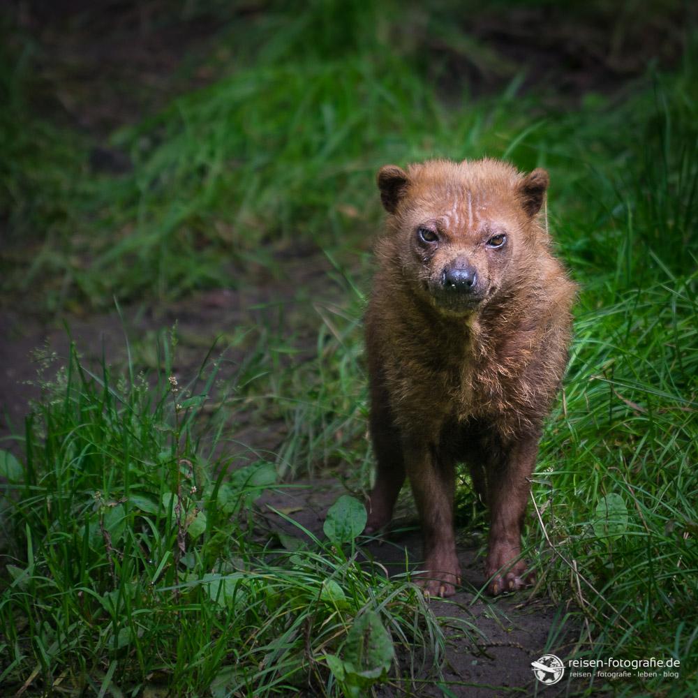 Waldhund