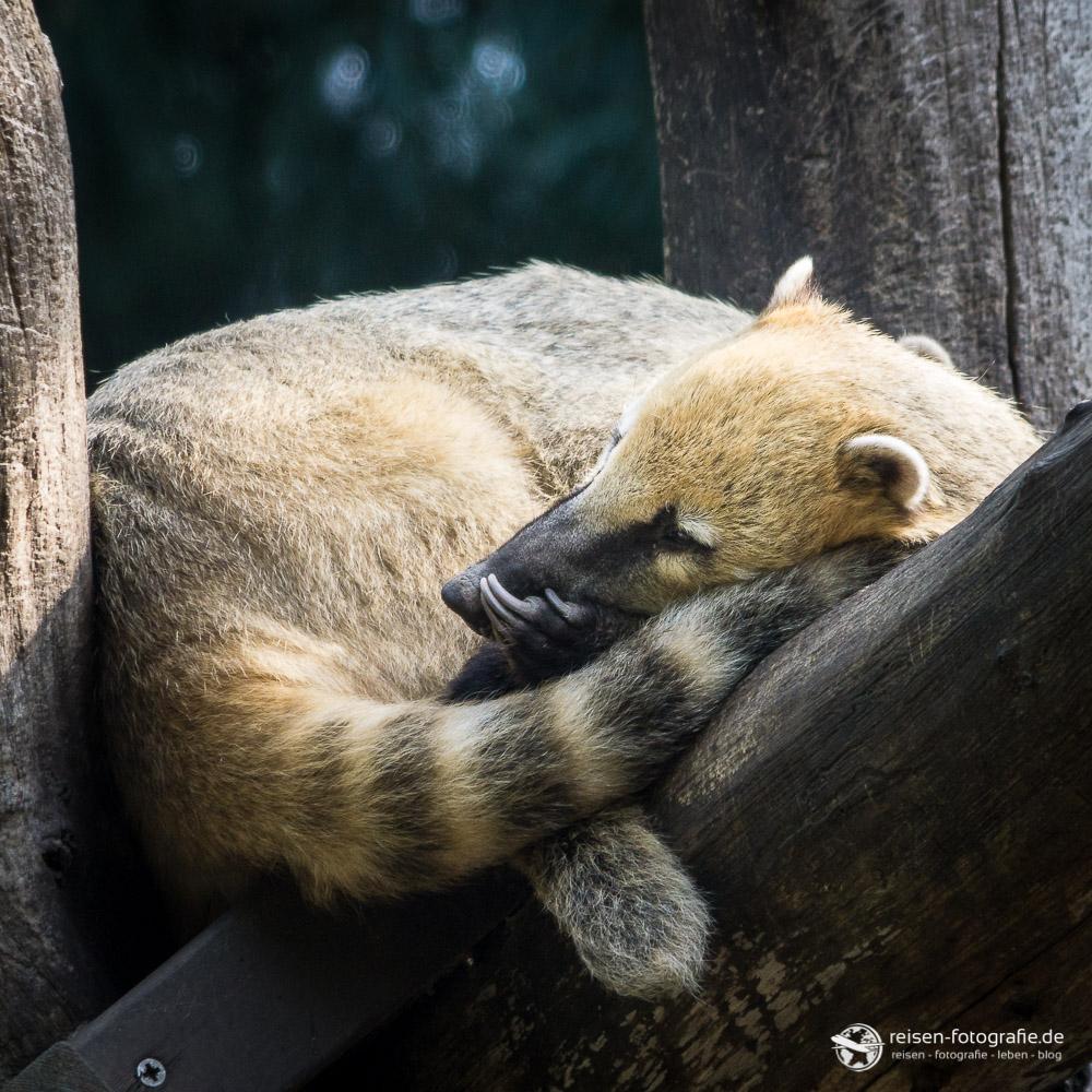 Nasenbär - schlafend