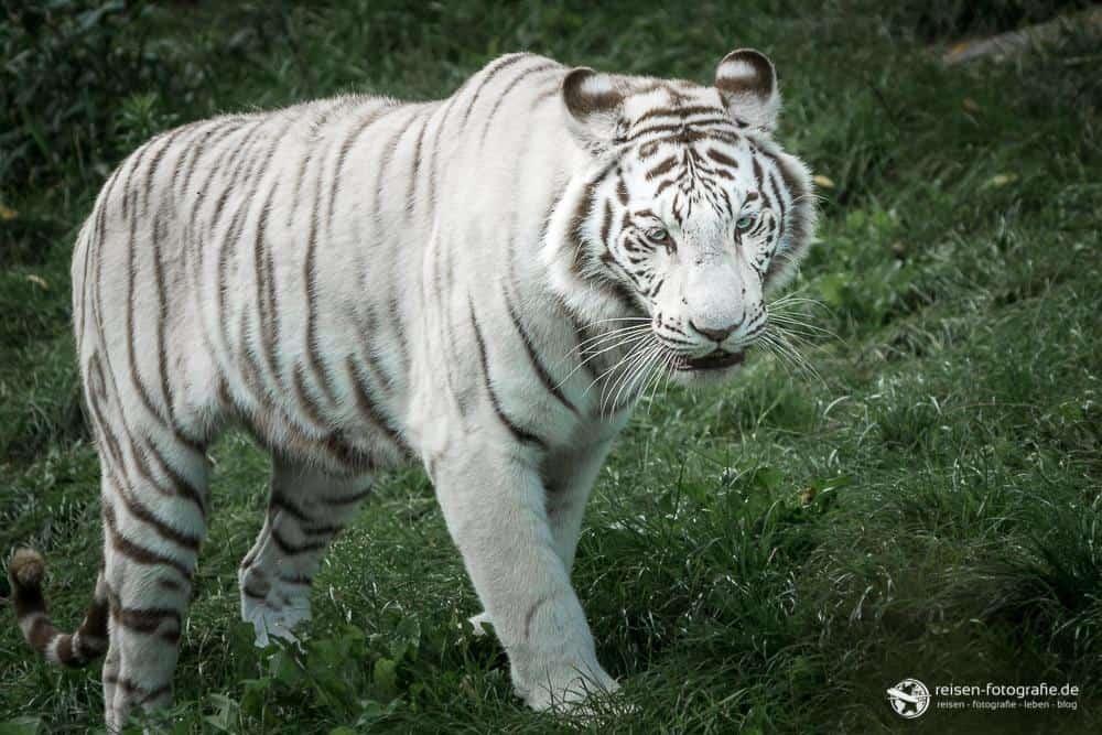Weißer Tiger in ganzer Pracht
