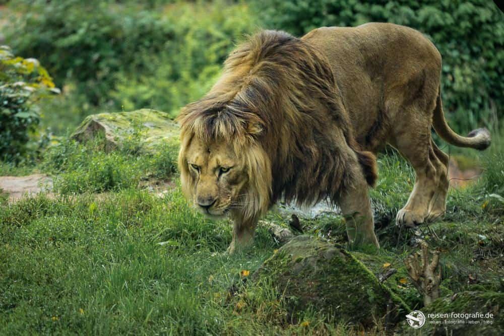 Löwe im Zoo Hannover