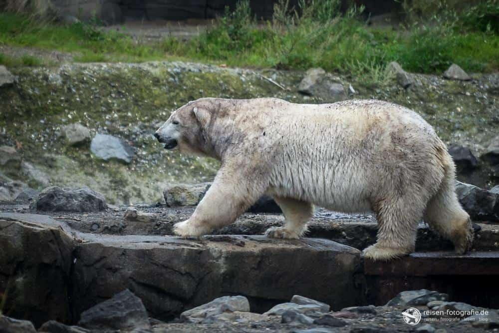 Eisbärdame im Zoo Hannover