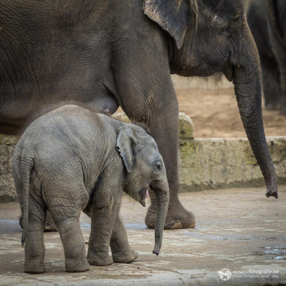 Elefantennachwuchs in Hannover
