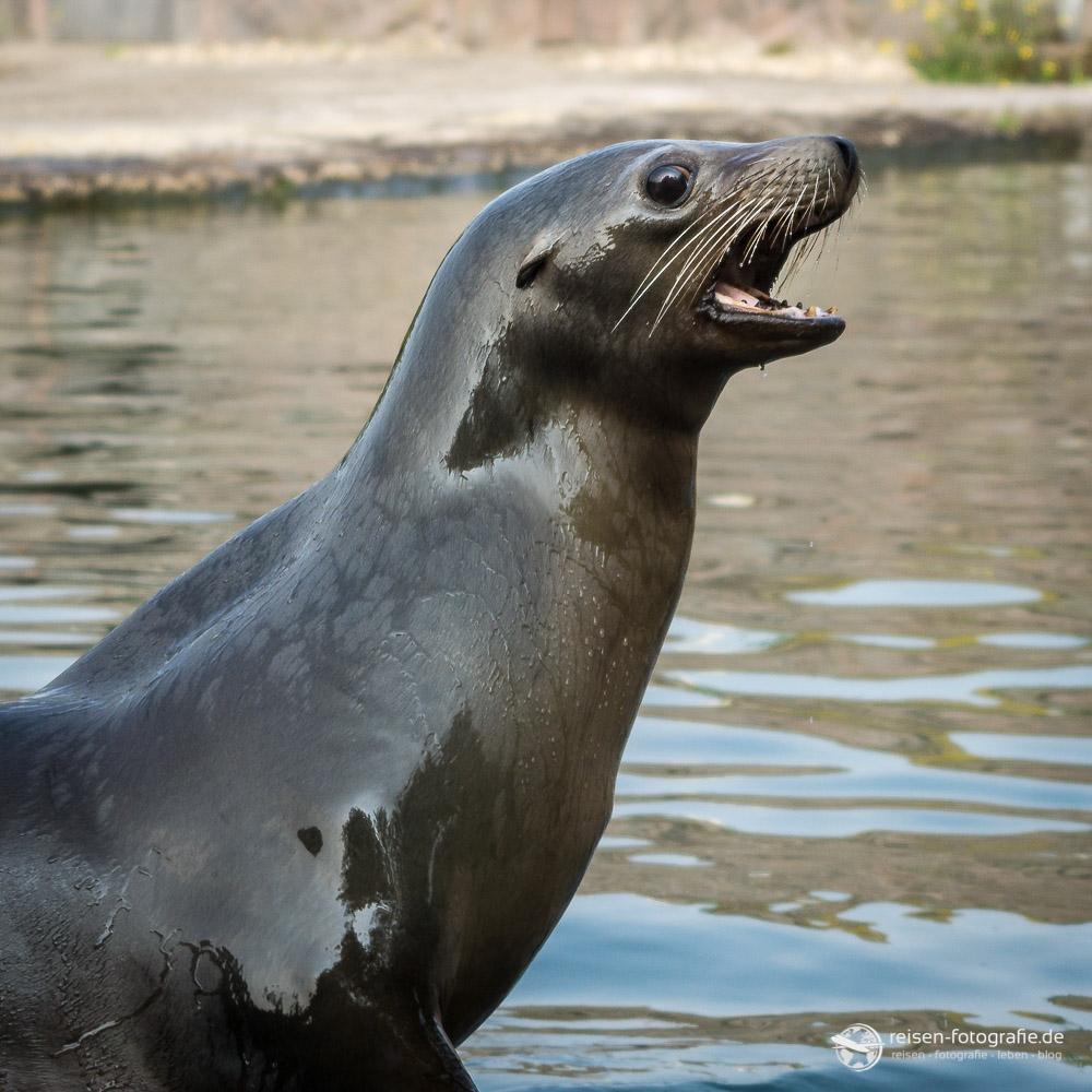Seelöwe - Lautstark und der war wirklich laut