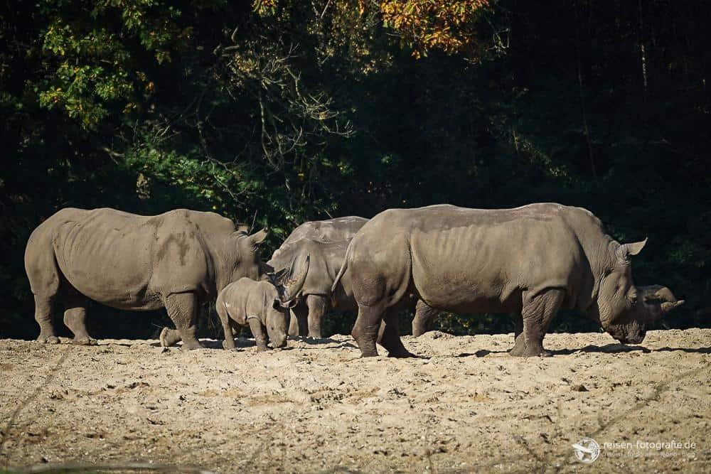 Nashorn Familie im Bereich Safari