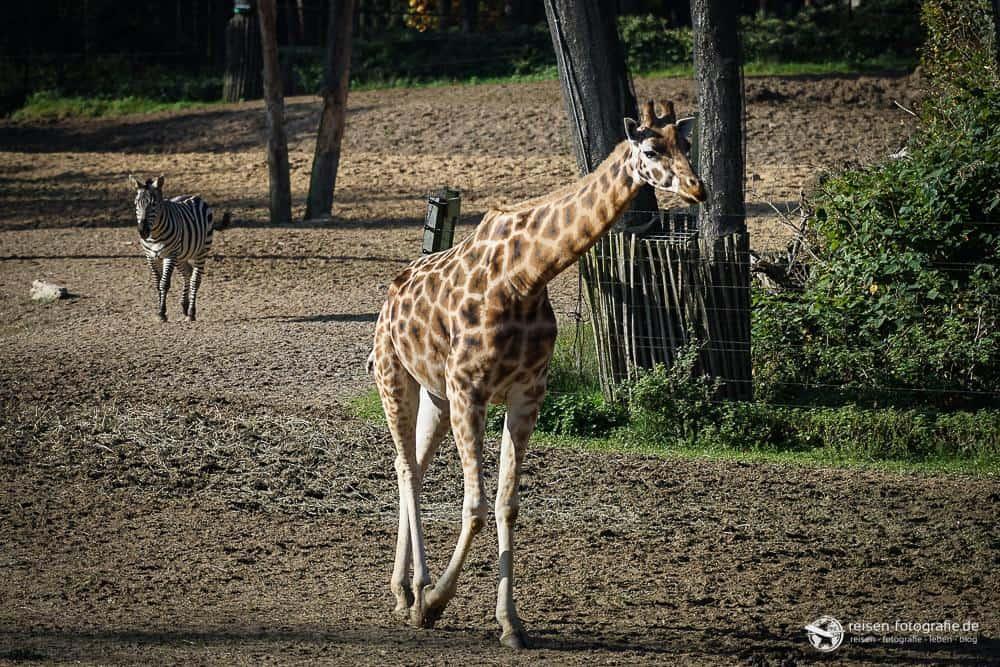 Giraffe im Bereich Safari