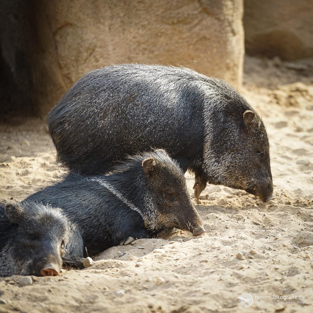 Schweine im Bereich Desert