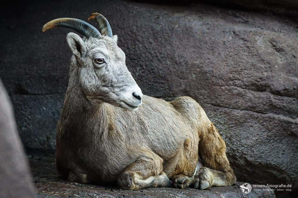Schaf im Bereich Desert