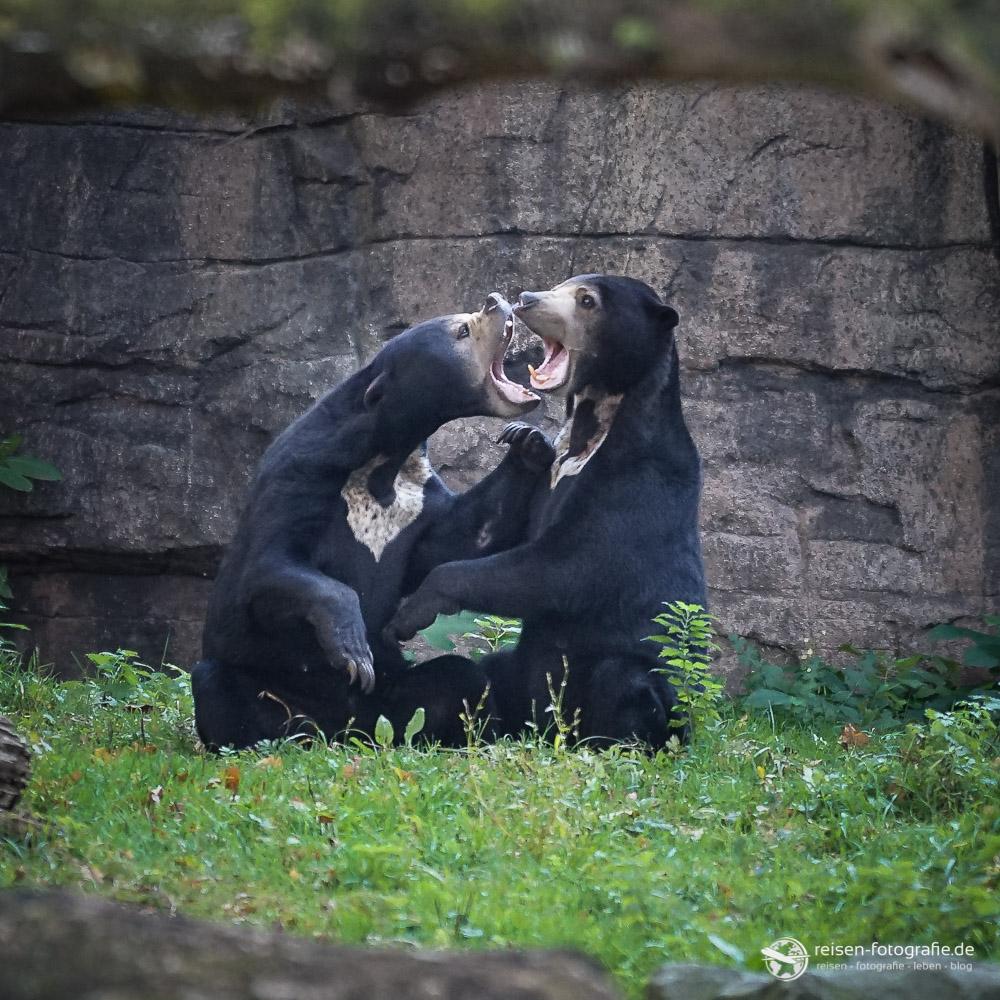Malaienbären im Bereich Rimba