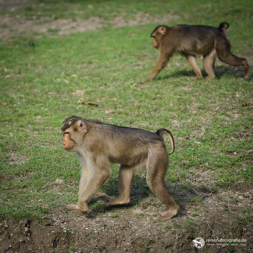 Affen im Bereich Rimba