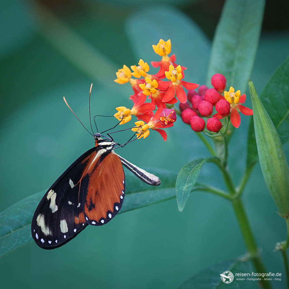 Schmetterling im Bereich Mangrove