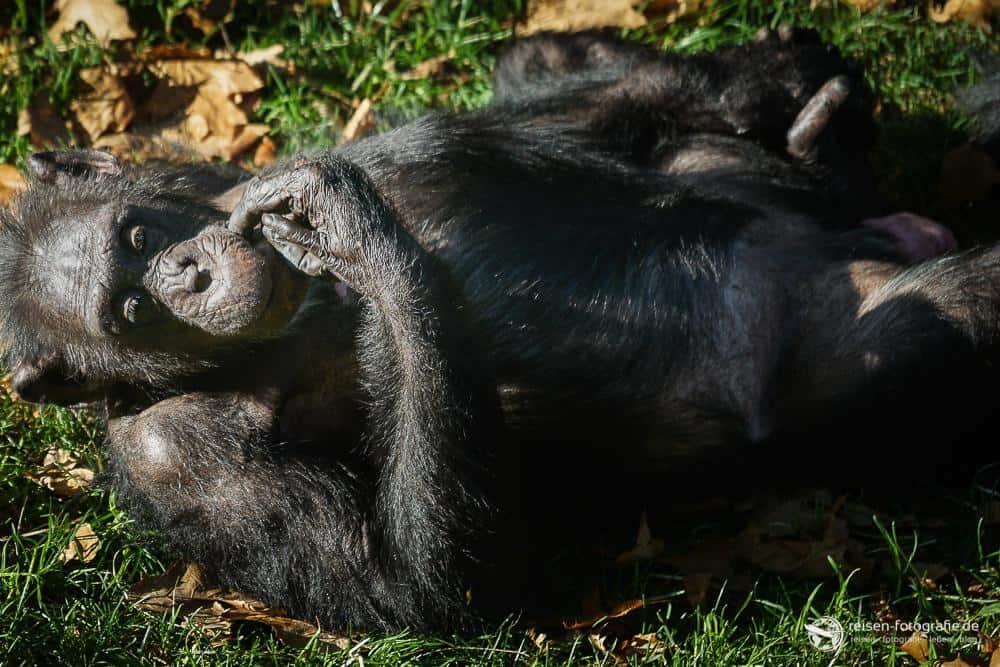 Schimpanse im Bereich Park