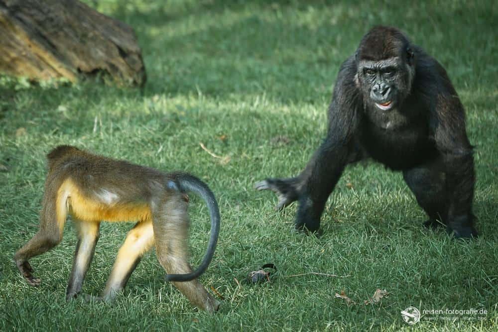 Gorilla im Bereich Park