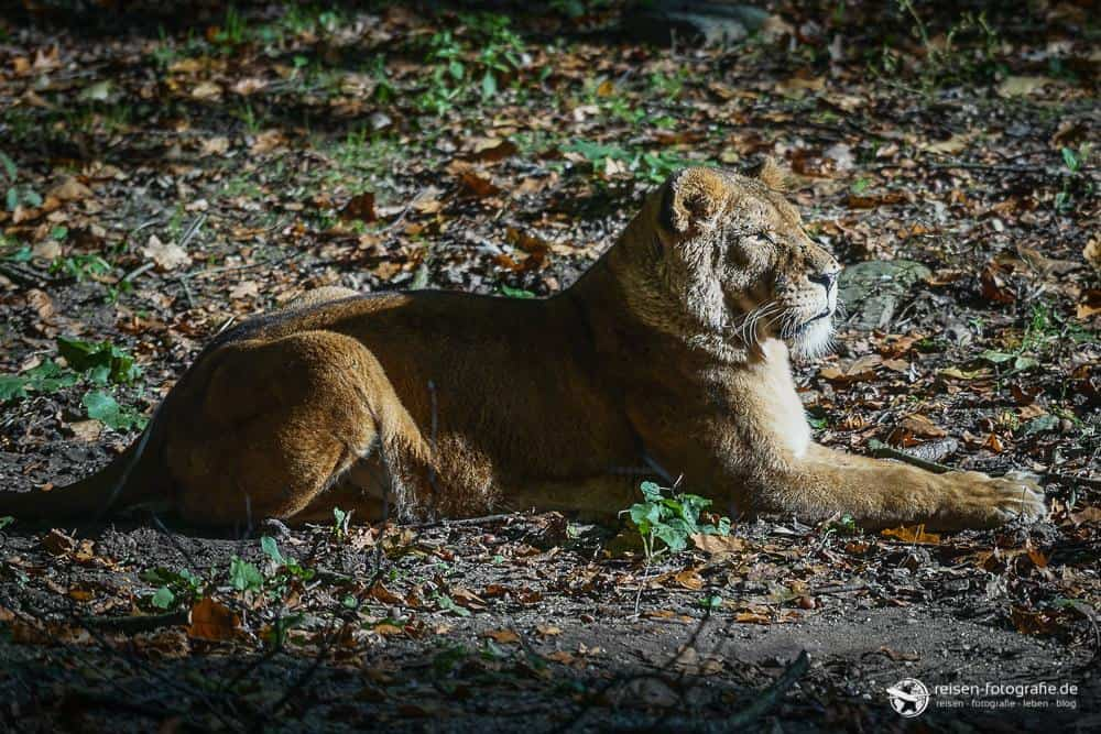 Löwe im Bereich Safari