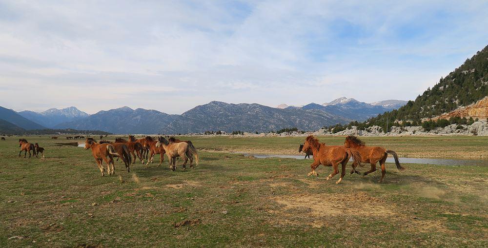 Wildpferde Ormana Taurusgebirge