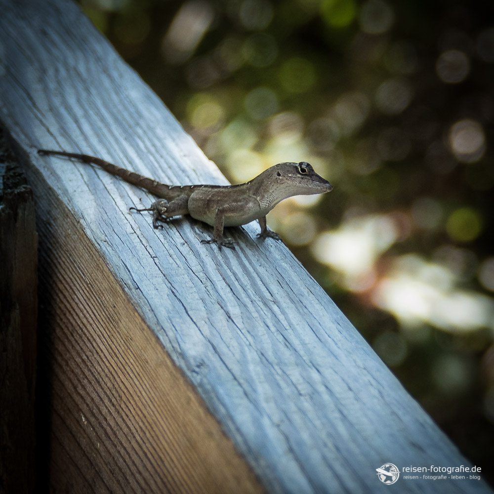 Gecko auf dem Zaun