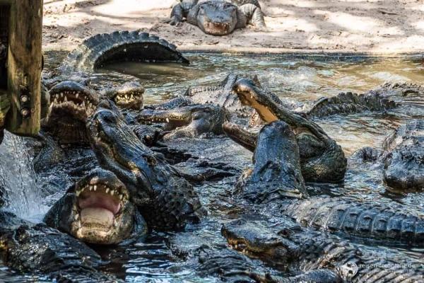 Fütterung der Alligatoren
