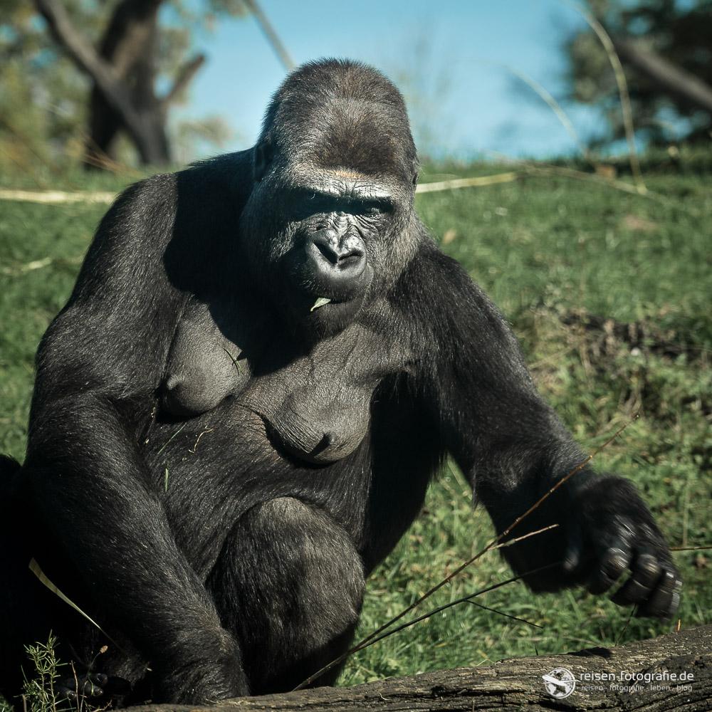 Gorilla in der wunderbaren Anlage