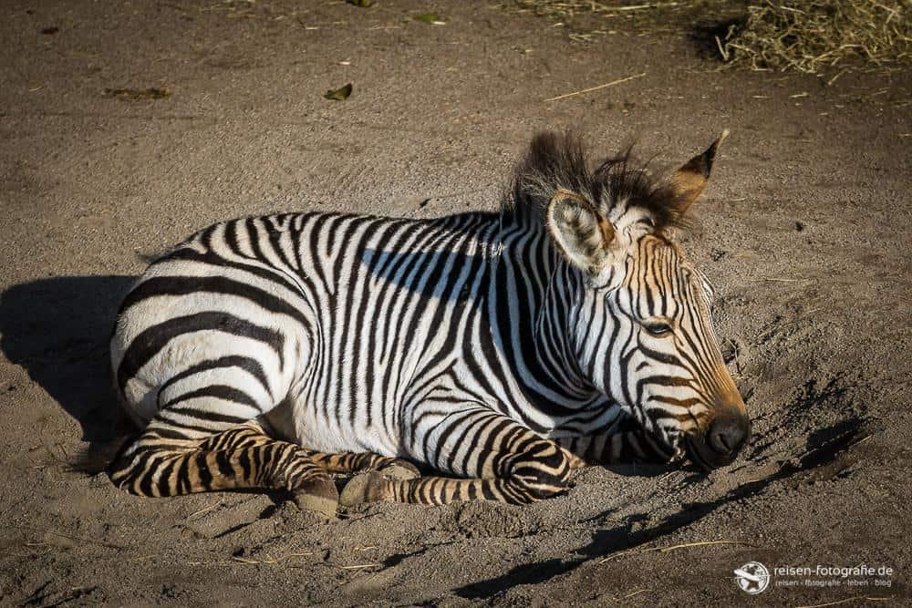 Zebra Nachwuchs