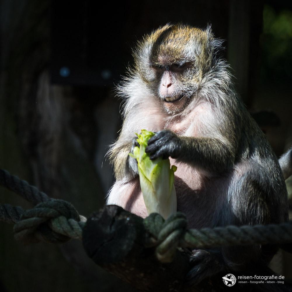 Platz 3 - Javaneraffe in Zoo Amneville