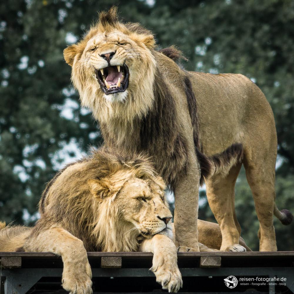 Platz 4 - Löwenkolonie im Zoopark Overloon