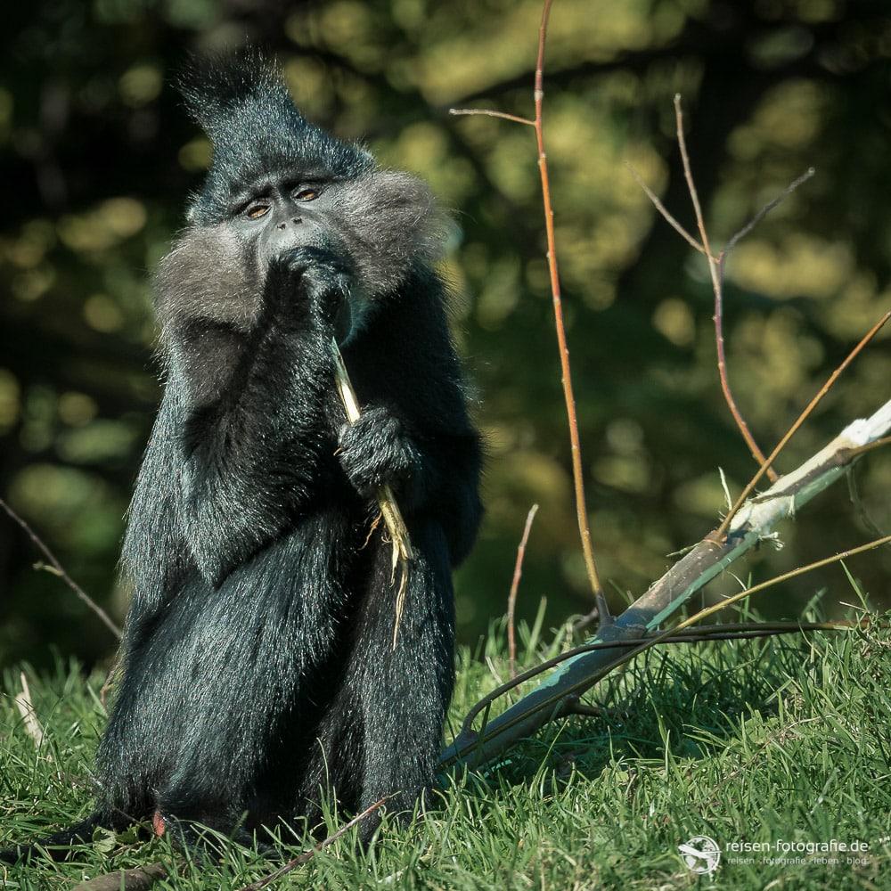 Platz 2 - Schopfmangabe im Gaia Zoo