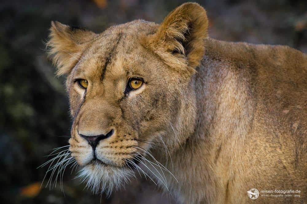 Löwenportrait