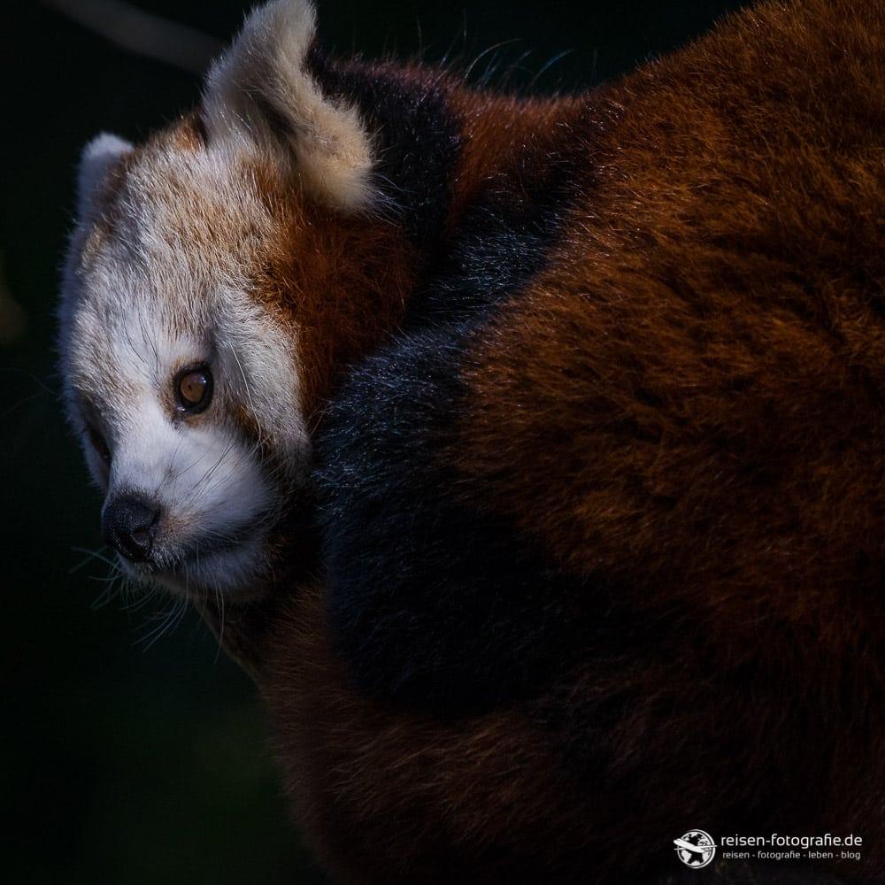 Roter Panda in Duisburg