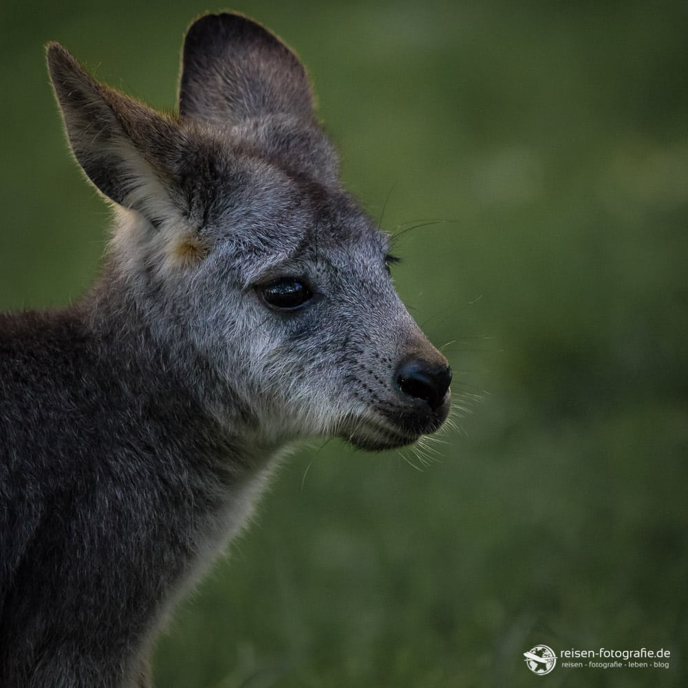 Känguru Nachwuchs