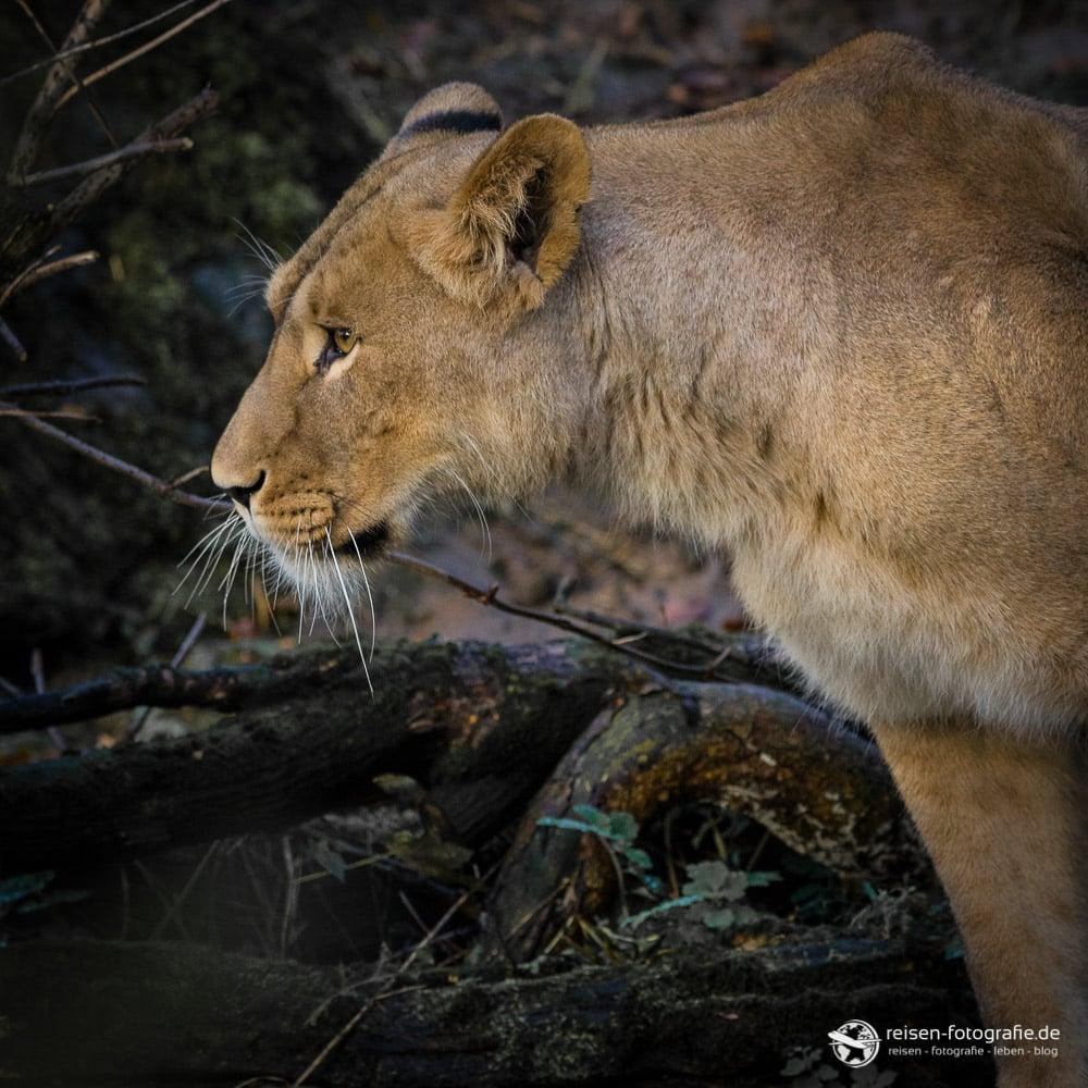 Löwendame auf Inspektionsrunde
