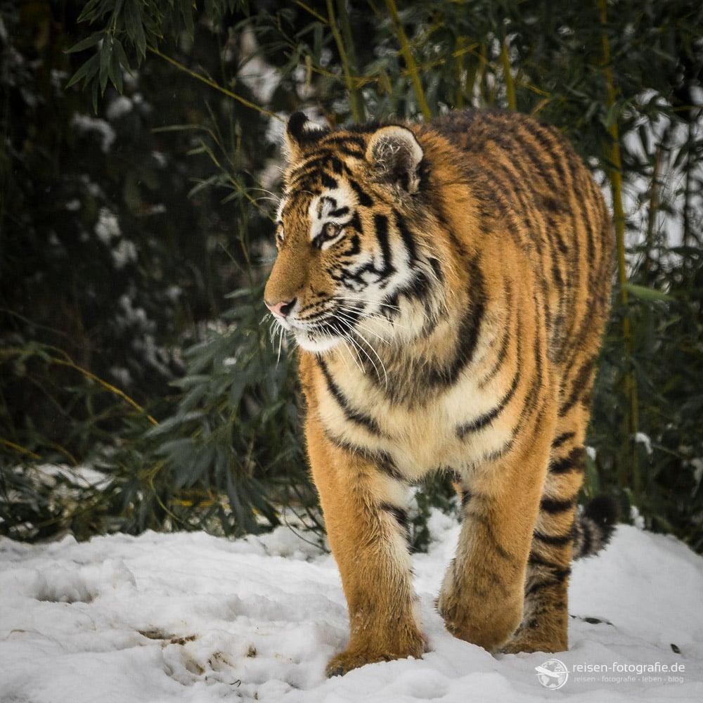 Tiger im Schnee (302mm - f6,3 - 1/800 - ISO1000)