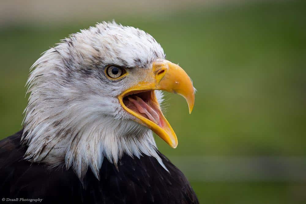 Weißkopfseeadler (by Dean Buchholz)