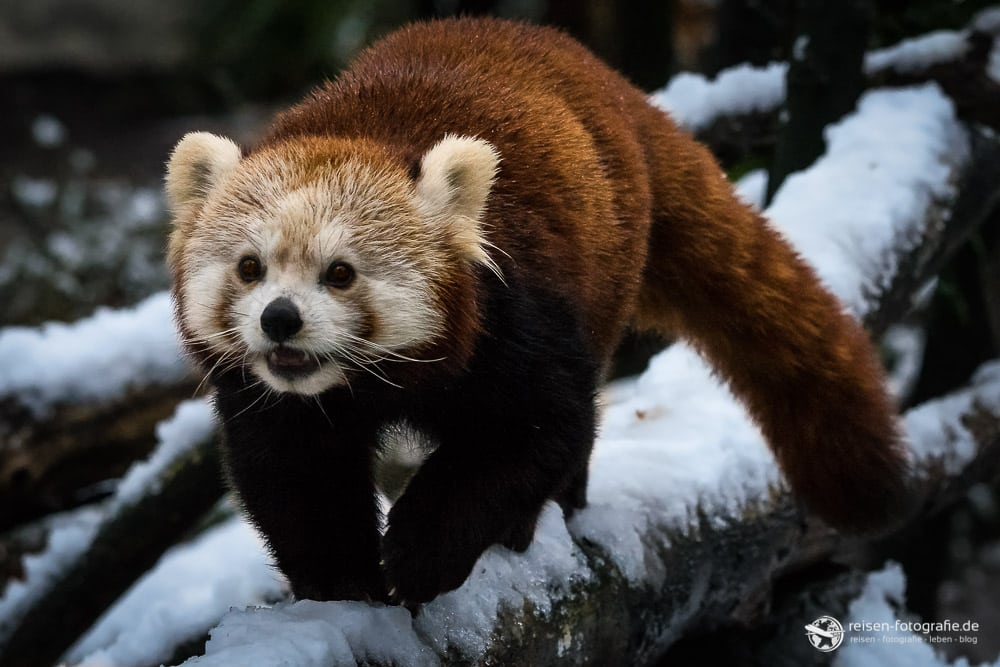 Roter Panda nachher