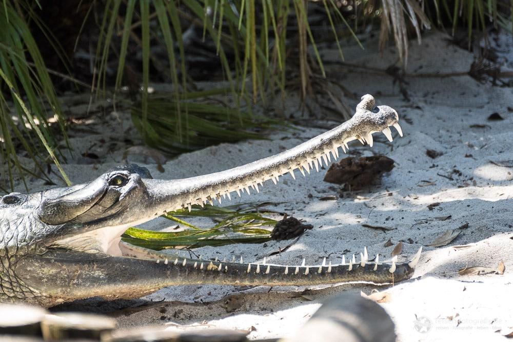 St. Augustine Alligator Farm: Indischer Gharial