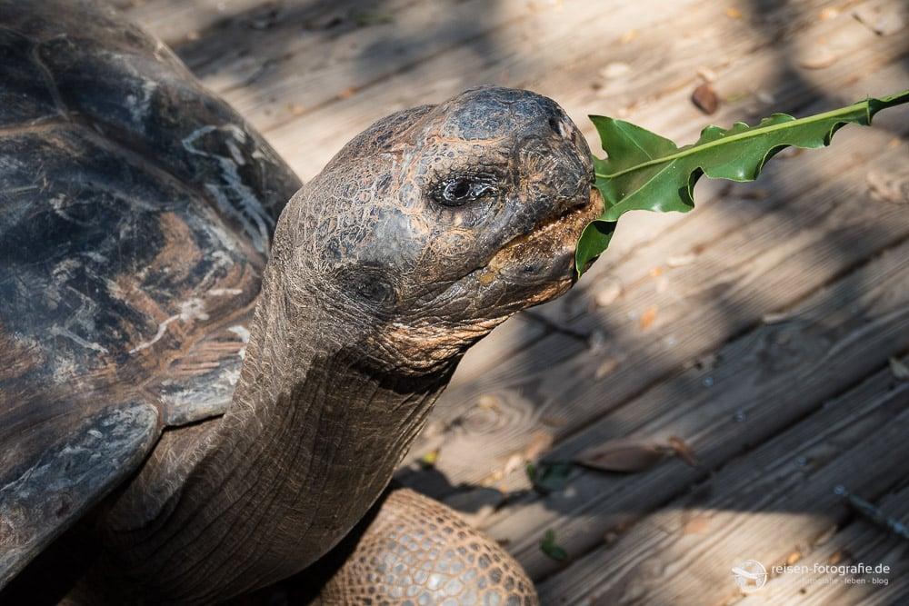 St. Augustine Alligator Farm: Riesenschildkröte - Mahlzeit
