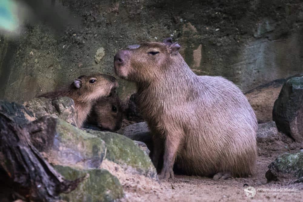 Capybara mit Nachwuchs