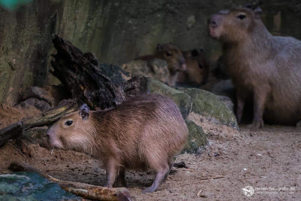 Capybara Nachwuchs