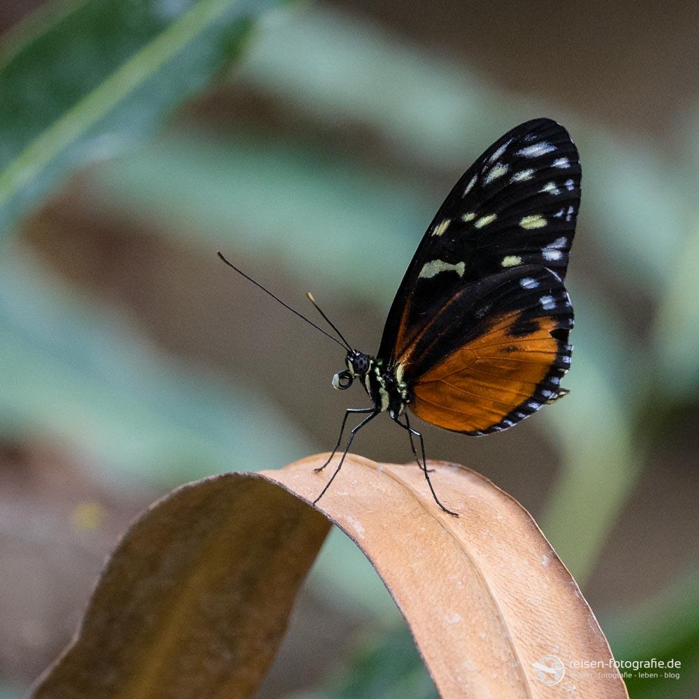 Schmetterling im Burgers Zoo