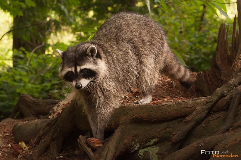 Fotonomaden Wildtierfotografie Kanada Waschbär